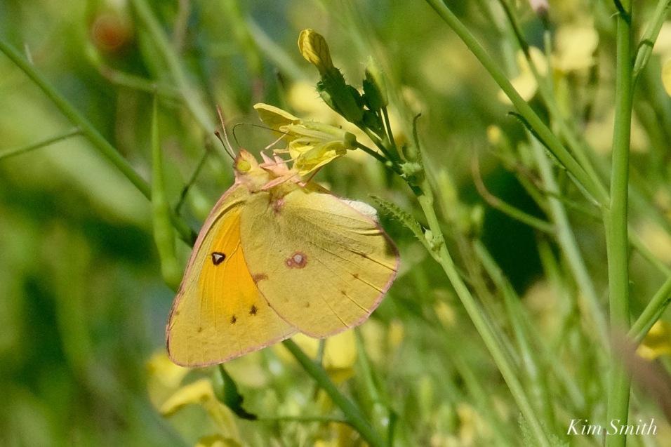 Orange Sulphur Butterfly Male Essex County copyright Kim Smith - 1 of 7