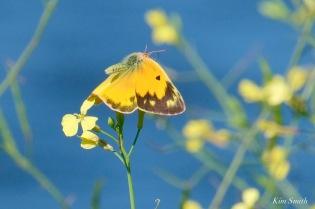 Orange Sulphur Butterfly Male Essex County copyright Kim Smith - 4 of 7