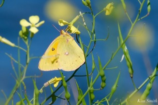 Orange Sulphur Butterfly Male Essex County copyright Kim Smith - 7 of 7