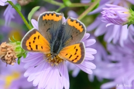 American Copper Butterfly Essex County copyright Kim Smith - 18 of 26