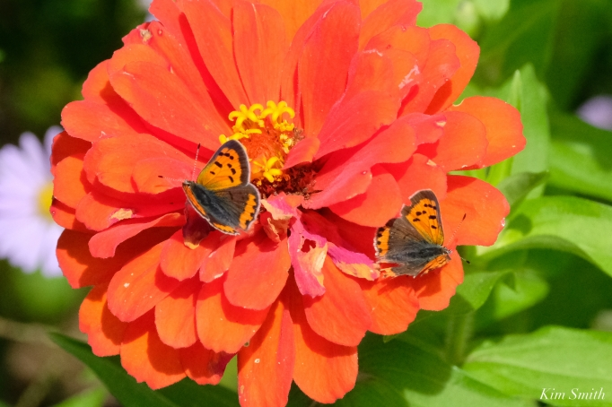 American Copper Butterfly Essex County copyright Kim Smith - 20 of 26
