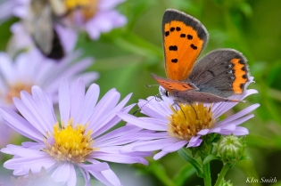 American Copper Butterfly Essex County copyright Kim Smith - 3 of 26